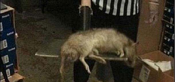 Rato de quase de 1 metro é encontrado dentro de loja
